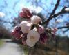 80% от черешите в Кюстендилско измръзнаха