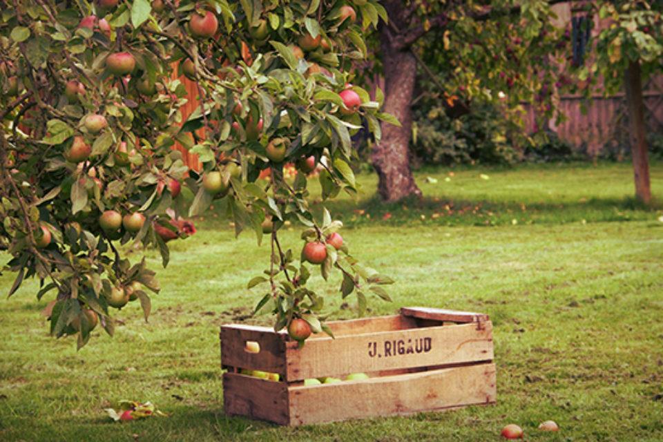 Производителите на плодове ще получат извънредно подпомагане