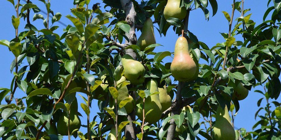 Какви видове дръвчета да изберем за нашата овощна градина?