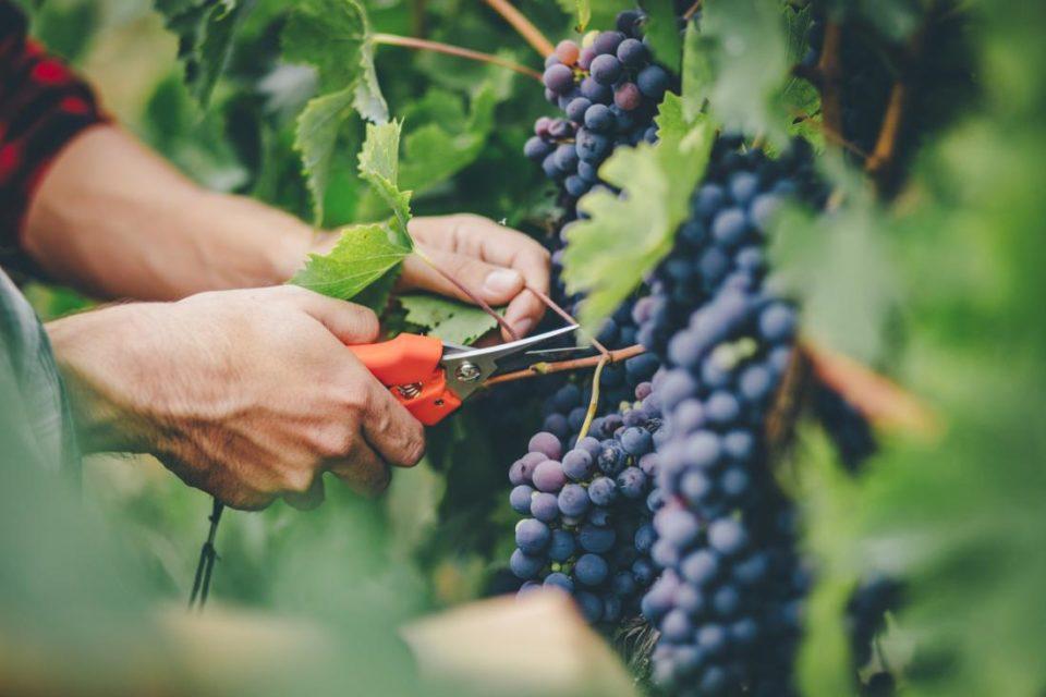 Очаква се по-ниска реколта от грозде